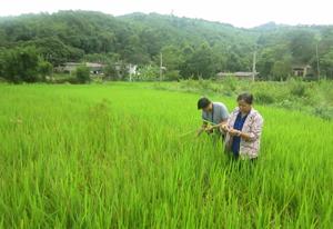 Vụ hè thu năm 2013, huyện Kim Bôi có hàng chục ha lúa bị chuột hại (Ảnh: cán bộ BVTV kiểm tra diện tích lúa bị nhiễm chuột trên địa bàn xã Hùng Tiến, Kim Bôi).
