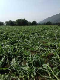 Diện tích ngô bị gẫy đổ không có khả năng phục hồi tại địa bàn xã Yên Lạc (Yên Thuỷ). Được biết, toàn xã có 127 ha ngô bị thiệt hại do mưa lốc, trong đó gần 80 ha bị thiệt hại mức độ hơn 70%.
