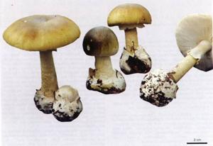 Một số loại nấm độc phổ biến trên địa bàn tỉnh