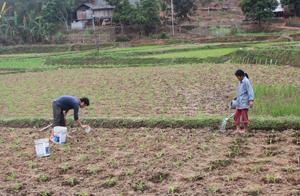 Trước tình hình hạn hán, người dân xã Ba Khan (Mai Châu) đã chuyển diện tích lúa bị hạn sang trồng ngô. (Ảnh: Mạnh Hùng).