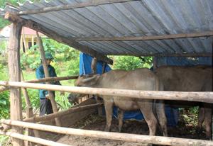 Được sự khuyến cáo của cơ quan chức năng, nhiều hộ dân ở xã Xăm Khòe (Mai Châu) từ bỏ tập quán thả rông gia súc chuyển về nuôi nhốt để đảm bảo chăm sóc và theo dõi dịch bệnh. (Ảnh: Mạnh Hùng).