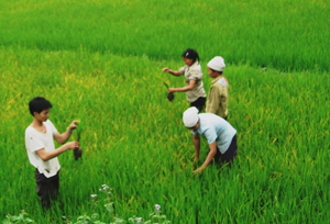 Nông dân xã Ân Nghĩa (Lạc Sơn) kiểm tra diện tích lúa bị vàng lá sinh lý trên địa bàn