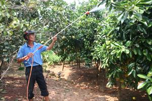 Mặc dù còn ít quả nhưng vườn bưởi nhà ông Nguyễn Văn Hùng, xóm Tân Hương, Thanh Hối, Tân Lạc vẫn chăm sóc cây cẩn thận phòng tránh rụng thêm.
