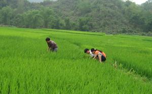 Cán bộ khuyến nông kiểm tra tình hình sâu bệnh hại lúa trên địa bàn xã Mãn Đức (Tân Lạc)