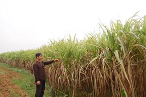 Đã qua vụ thu hoạch nhưng ông Trần Xuân Nguyên  vẫn giữ nguyên vườn mía trên thửa đất mà xã Nam Phong  (Cao Phong) đã ra quyết định thu hồi.