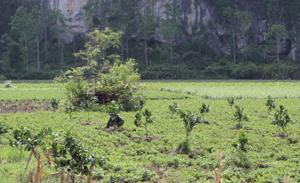 Xã Ngọc Lương(Yên Thủy) chuyển đổi diện tích trồng màu kém hiệu quả sang trồng các loại cây ăn quả có múi.