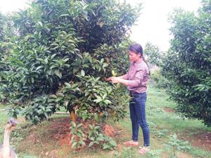 Chị Trần Thị Thực tiên phong trong chuyển đổi cơ cấu cây trồng từ diện tích trồng mía kém hiệu quả sang trồng cây cam. Ảnh: Chị Thực đang chăm sóc vườn cam hơn 500 gốc tại vườn của gia đình