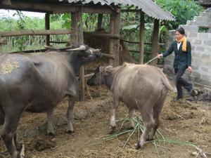 Theo khuyến cáo của ngành NN&PTNT, nông dân các địa phương cần thực hiện tốt việc khử trùng tiêu độc, giữ gìn vệ sinh môi trường chuồng trại chăn nuôi để phòng bệnh LMLM đang có nguy cơ phát sinh và lây lan trên đàn gia súc.