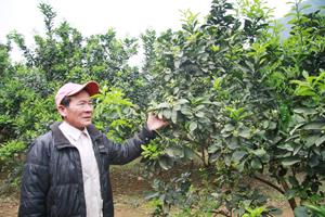 Ông Nguyễn Viết Chiểu bên vườn bưởi đang ra hoa.