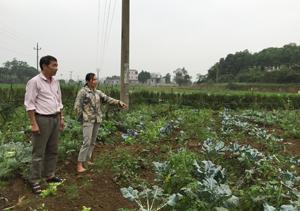 Diện tích sản xuất rau hữu cơ của gia đình chị Hoàng Bích Thùy, xóm Gừa, xã Cư Yên cho hiệu quả kinh tế cao.