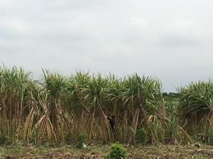 Diện tích mía bị nghiêng, đổ đã được hộ sản xuất xóm Bãi Bệ 1, xã Dũng Phong được buộc dựng lại.