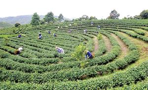 Hiện, tỉnh Lai Châu có gần 3.410 ha chè, đây là cây trồng thế mạnh của tỉnh.