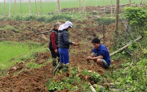 Xã Cư Yên (Lương Sơn) tích cực chuyển đổi cơ cấu cây trồng, nâng cao thu nhập. ảnh: Nông dân xóm Giếng Xạ thu hoạch sắn dây.
