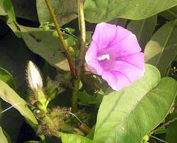 Cây và hoa bạc thau