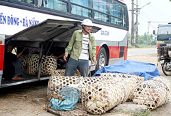 Cách ổ dịch heo tai xanh Bình Đào chừng 7km, chợ heo Hà Lam (huyện Thăng Bình) có hàng trăm heo con/ngày được vận chuyển vào Nam, ra Bắc tiêu thụ.