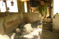 Người chăn nuôi lại đối diện với dịch bệnh tai xanh đang bùng phát