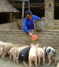 Người chăn nuôi không giấu nổi lo âu khi giá lợn giảm mạnh