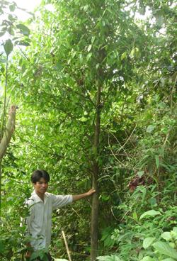 Cây dó bầu sinh trưởng tốt trong điều kiện tự nhiên tại xã Thượng Tiến (Kim Bôi).