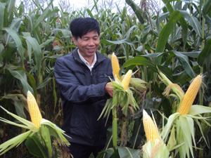 Năm 2012, huyện Yên Thủy mở rộng diện tích ngô tăng khoảng 7% diện tích so với năm 2011, năng suất ước đạt 40 tạ/ha. ảnh: Nông dân xã Ngọc Lương (Yên Thủy) thu hoạch ngô vụ xuân.