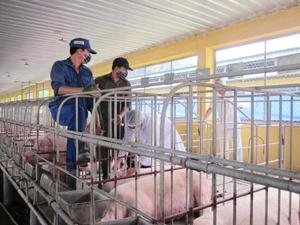 Lực lượng Thú y làm công tác chống dịch điều trị cho lợn ốm.