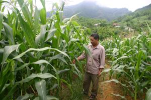 Ruộng ngô nhà anh Trần Văn Tài, xóm Chúc Sơn, Toàn Sơn (Đà Bắc) sử dụng phân bón hữu cơ tốt hơn hẳn ruộng khác.