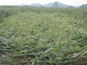 Gió lốc làm thiệt hại 187 ha ngô chiêm xuân tại xã Ngọc Lương.