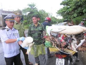 Chốt kiểm dịch động vật thành phố Hòa Bình giám sát và quản lý chặt số lượt gia cầm, thủy cầm vào địa bàn.