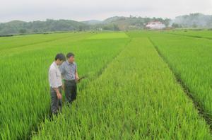 Cán bộ Chi cục BVTV và phòng NN&PTNT huyện Lạc Sơn kiểm tra diện tích lúa nhiễm rầy tại xã Phú Lương (Lạc Sơn).
