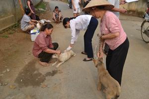 Cán bộ thú y xã Dân Chủ (TPHB) tiêm phòng dại cho đàn chó.
