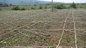 Hàng chục ha bí xanh của xã Đú Sáng (Kim Bôi) bị đổ giàn, giảm năng suất do mưa, lốc.