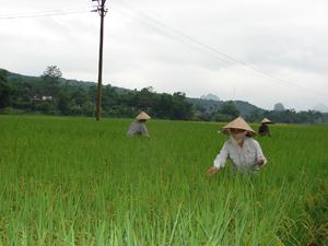 Thực hiện thao tác khử lẫn trên ruộng nhân giống lúa MĐ1 - khâu quan trọng trong quy trình sản xuất hạt giống.