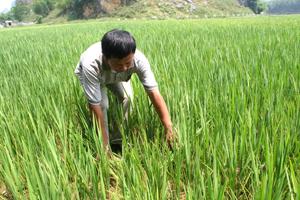 Đất nứt, lúa héo ở cánh đồng Khuốc- xã Kim Bôi.