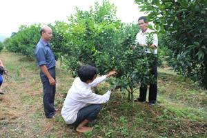 Nhiều hộ gia đình xã Phú Thành (Lạc Thuỷ) mở rộng diện tích trồng cam mang lại hiệu quả kinh tế cao.