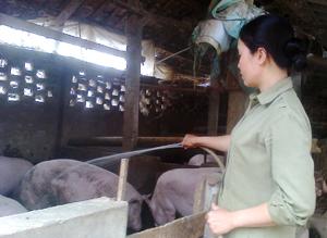 Chị Bùi Thị Hoài đầu tư chăn nuôi lợn cho thu nhập trên 100 triệu đồng /năm.