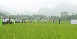 Các đại biểu tham quan mô hình trình diễn giống lúa TBR225 trên địa bàn xã Tân Tiến (Đồng Tâm, Lạc Thuỷ).