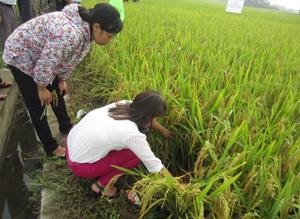 Cán bộ khuyến nông xã An Lạc (Lạc Thủy) kiểm tra tình hình dịch hại trên diện tích lúa xuân 2015.