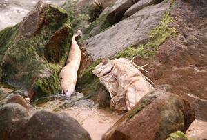 Cá chết hàng loạt ở miền Trung trong tháng 4. Ảnh: Đ.H.