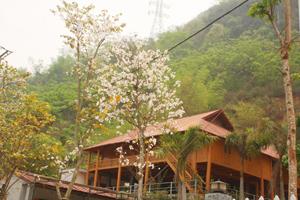 Cây hoa ban được nhiều hộ kinh doanh du lịch ở thị trấn  Mai Châu và xã Chiềng Châu (huyện Mai Châu) trồng trong  khuôn viên đã tạo được điểm nhấn trong lòng du khách.