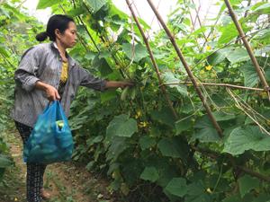 Nông dân xã Vĩnh Đồng (Kim Bôi) thu hoạch dưa nếp cho thu nhập 150 triệu đồng/ha.