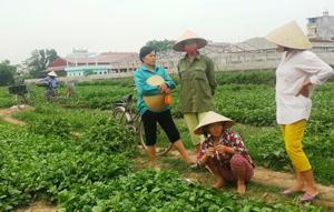 """Sau vụ """"dùng chổi quét rau"""" phát trên VTV3, rau xanh của bà con nông dân xã Vĩnh Thành, huyện Vĩnh Lộc (Thanh Hóa) khó tiêu thụ - Ảnh: Hà Đồng"""