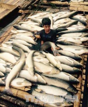 Cá chết hàng loạt tại một hộ nuôi cá lồng trên sông Bưởi.