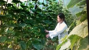 Mô hình trồng dưa chuột Nhật xuất khẩu mang lại thu nhập trên 80 triệu đồng/ha, tại xã Hạ Bì, Kim Bôi.