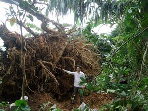 Gốc cây cổ thụ ở xã Do Nhân(Tân Lạc) bị bật gốc do giông, lốc.
