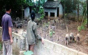 Hiệu quả mô hình nuôi lợn bản địa ở xã Phú Vinh