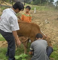 Dịch lở mồm long móng tại xã Đồng Nghê, Đà Bắc đã được ngăn chặn