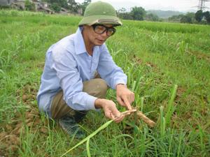 Nông dân xã Bắc Phong (Cao Phong) tỏ ra lo ngại khi phát hiện sâu đục thân xuất hiện trên cây mía.