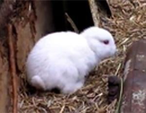 Chú thỏ không tai tại Nhật Bản.