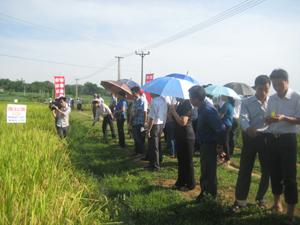 Đại biểu các huyện tham quan mô hình trình diễn lúa lai Lào Cai tại địa điểm xóm Lầm, xã Phong Phú.