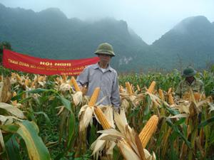 Hai giống ngô LVN25 và SB09-9 cho năng suất cao hơn hẳn các giống ngô khác ở thị trấn Thanh Hà (Lạc Thuỷ).