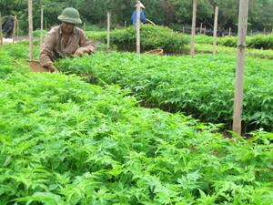 Công nhân Công ty Giống cây trồng Hòa Bình chăm sóc cây giống xoan lai phục vụ công tác trồng rừng năm 2012. Ảnh: N.A